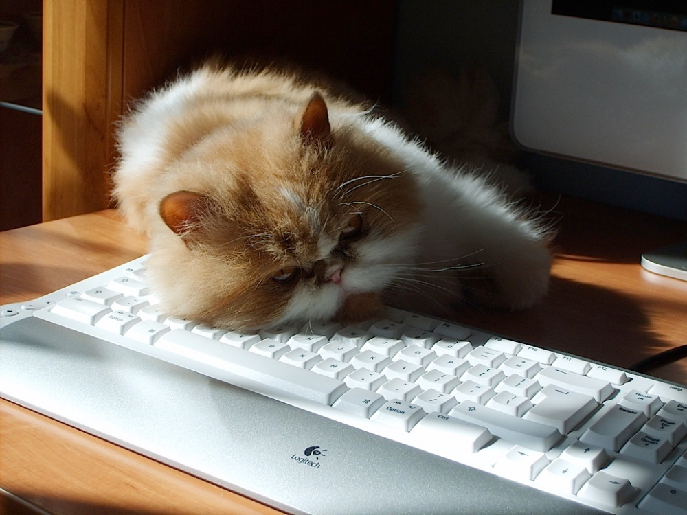 Kuba sleeping on keyboard by Stefan Zdzialek.jpg